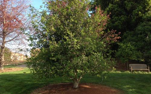 Pixar посадила дерево в память о Стиве Джобсе